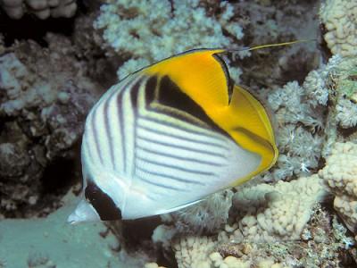 Бабочка-хелмонопс куриозус (Тальма) (Chelmonops curiosus)