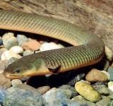 Каламоихт калабарский (Calamoichthys calabaricus)