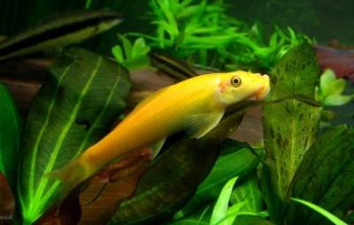 Гиринохейл сиамский золотой (Gyrinocheilus aymonieri)