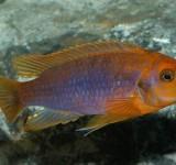 Йодотрофеус (Iodotropheus sprengerae)