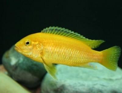 Лабидохромис церулиус лимонный (Labidochromis caeruleus)