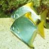 Монодактил серебряный (Monodactylus argenteus)