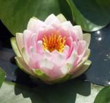 Нимфея, кувшинка розовая Мадам Вильфрон Гоннер (Nymphaea Madame Wilfron Gonnere)