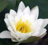 Кувшинка Марлиацея Альбида (Nymphaea Marliacea Albida)