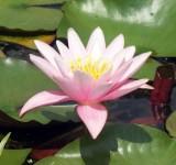 Нимфея, кувшинка розовая Пинк сенсейшен (Nymphaea Pink Sensation)