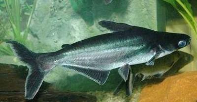 Пангасиус обыкновенный, Акулий сом (Pangasianodon hypophthalmus)