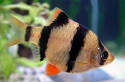 Барбус суматранский (Puntius tetrazona)