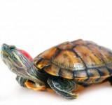 Красноухая черепаха или Желтобрюхая (Trachemys scripta)