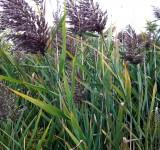 Тростник обыкновенный, южный (Phragmites australis)