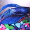 Петушок сиамский - бойцовая рыбка (Betta splendens)
