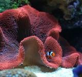 Актиния ковровая стиходактила хаддони красная (Stoichactis haddoni)