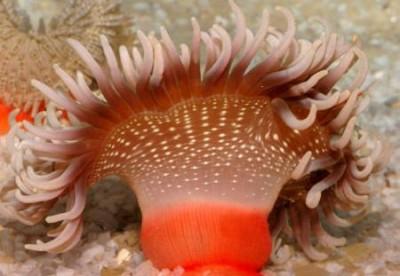 Актиния краснотелая (Macrodactyla doreensis)