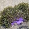 Актиния гетерактис магнифика (Heteractis magnifica)