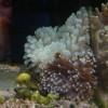 Актиния пузырчатая (Entacmaea quadricolor)