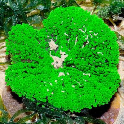 Актиния ковровая тапетум (Мини ковровая актиния) (Stichodactyla tapetum)