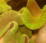 Актиния ковровая стиходактила (Stoichactis sp.)