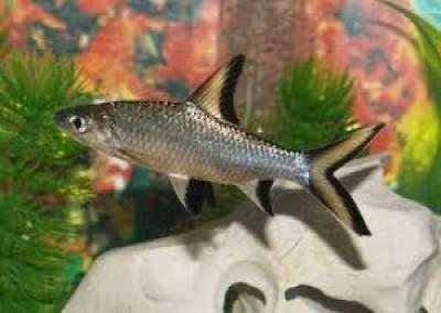 Акулий бала (Balantiocheilos melanopterus)