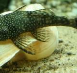 Анциструс обыкновенный (Ancistrus dolichopterus)