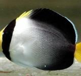 Ангел-хетодонтопл желтохвостый (Chaetodontoplus mesoleucus)