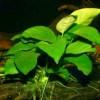 Анубиас Бартера карликовый на коряге (Anubias barteri var. nana)