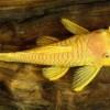 Анциструс золотой (Ancistrus Albino Gold)
