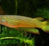 """Аплохейлус линеатус золотистый (Aplocheilus lineatus var. """"Gold"""")"""