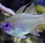 Апогон синеглазый (нитеперый) (Apogon leptacanthus)