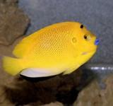 Аполемихт трехпятнистый (Синегубый ангел) (Apolemichthys trimaculatus)