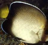 Аполемихт кремовый (Apolemichthys xanthotis)