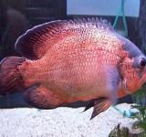 Астронотус-оскар красный (Astronotus ocellatus var.)