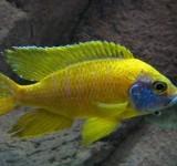 "Аулонокара Бенша - желтая  (Aulonocara baenschi var. ""Yellow"")"