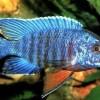 """Аулонокара Ньяса голубая (Aulonocara nyassae var. """"Blue"""")"""
