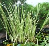 Аир (акорус), ф. пестролистная (Acorus calamus Variegatus) (контейнер 2л или корневище)