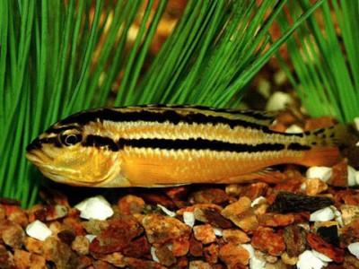 Меланохромис золотой (Melanochromis auratus)