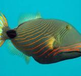 Спинорог оранжевополосый (Оранжевополосый балистап) (Balistapus undulatus)