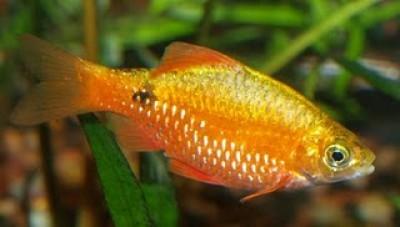 Барбус огненный (Puntius conchonius)