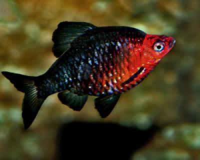Барбус черный (Puntius nigrofasciatus)