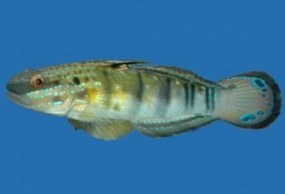 Бычок-амблигобиус фалена (Амблигобиус-пуля) Amblygobius phalaena