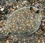 Камбала-ботус глазчатая (Bothus ocellatus)