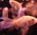 Золотая рыбка кормовая (Carassius auratus var.)