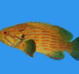 Групер бирюзовополосый (Cephalopholis formosa)