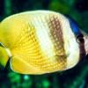 Бабочка Клейна лиловоточечная (Chaetodon kleinii)