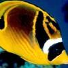 Бабочка-енот (лунула) (Chaetodon lunula)