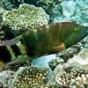 Хейлин треххвостый (красочный) (Cheilinus trilobatus)