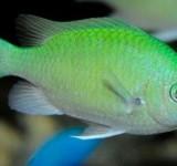 Хромис сине-зеленый (Chromis caerulea)
