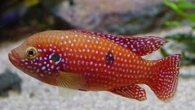 Хромис-красавец (Hemichromis bimaculatus)
