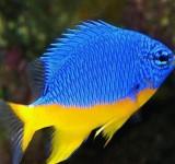 Хризиптера желто-голубая (желтобрюхая) (Chrysiptera hemicyanea)