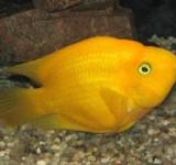 Попугай желтый (Cichlasoma sp.)