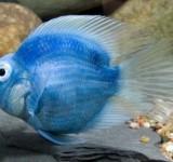 Попугай синий (Cichlasoma sp.)