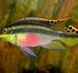 Цихлида попугай (Pelvicachromis pulcher)
